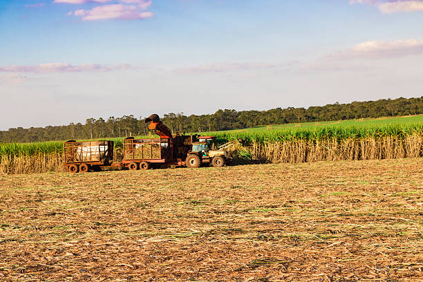 Sugar cane plantation - Tractor and combine harvesting Sugar cane plantation - Tractor and combine harvesting sugar cane field farm sugar cane stock pictures, royalty-free photos & images