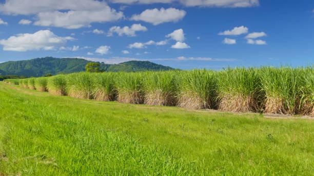sugar cane plantation, tweed valley. - zuccherificio foto e immagini stock