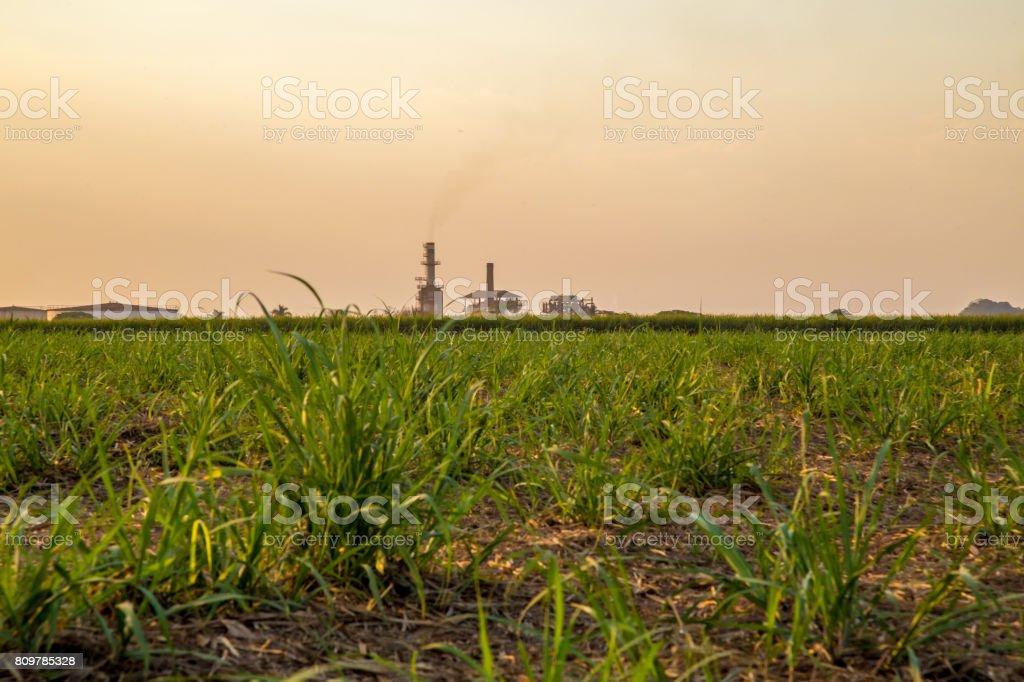 sugar cane sunset stock photo