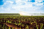 Sugar cane sunset plantation beautiful irrigation