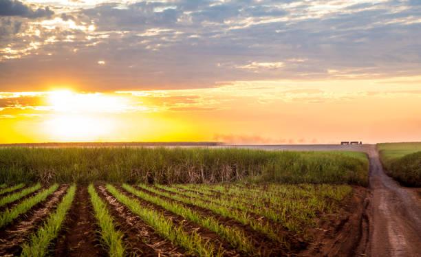 Sugar cane sunset plantation beautiful Sugar cane sunset plantation beautiful sugar cane stock pictures, royalty-free photos & images