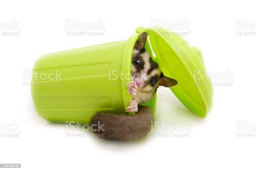 Sugar glider in laying green garbage bin. stock photo