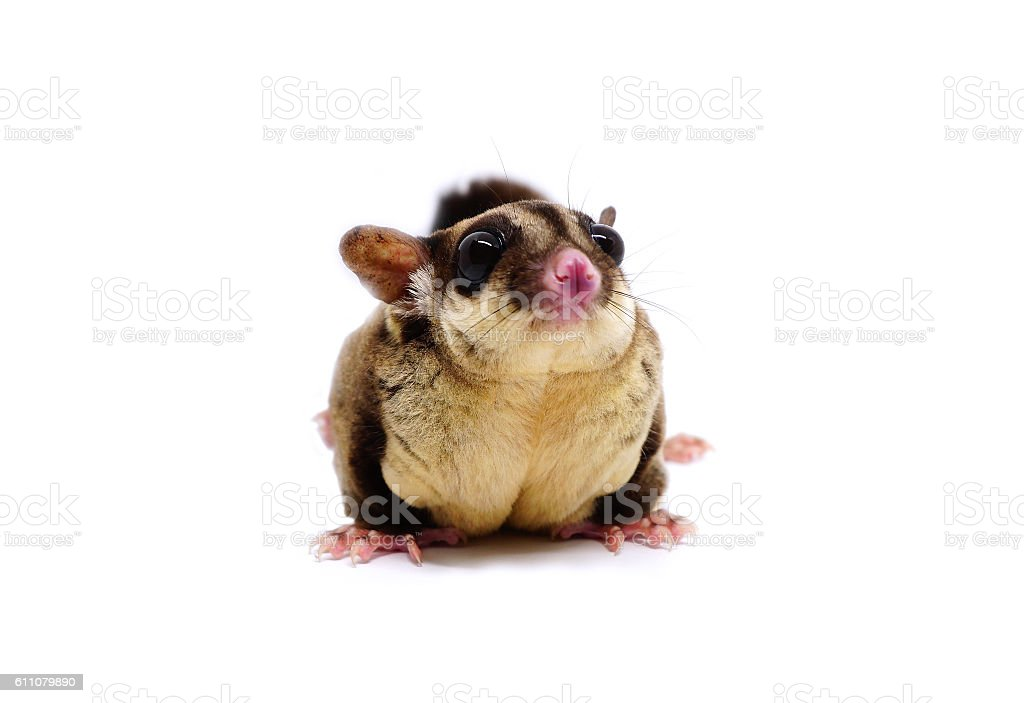 Sugar glider, Petaurus breviceps, on white stock photo