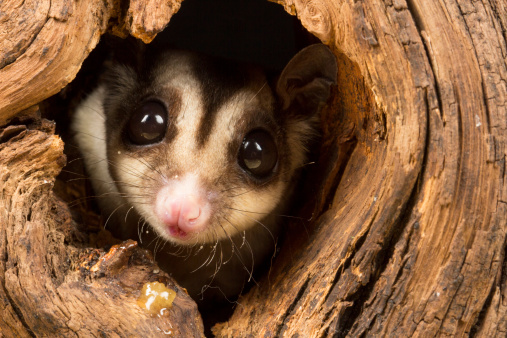 This small possum-like marsupial is scientifically known as Petaurus breviceps, and is found in northern and eastern Australia, and was later introduced to Tasmania