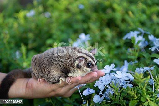 Sugar glider smells blue violet flowers in green garden over female owner hand