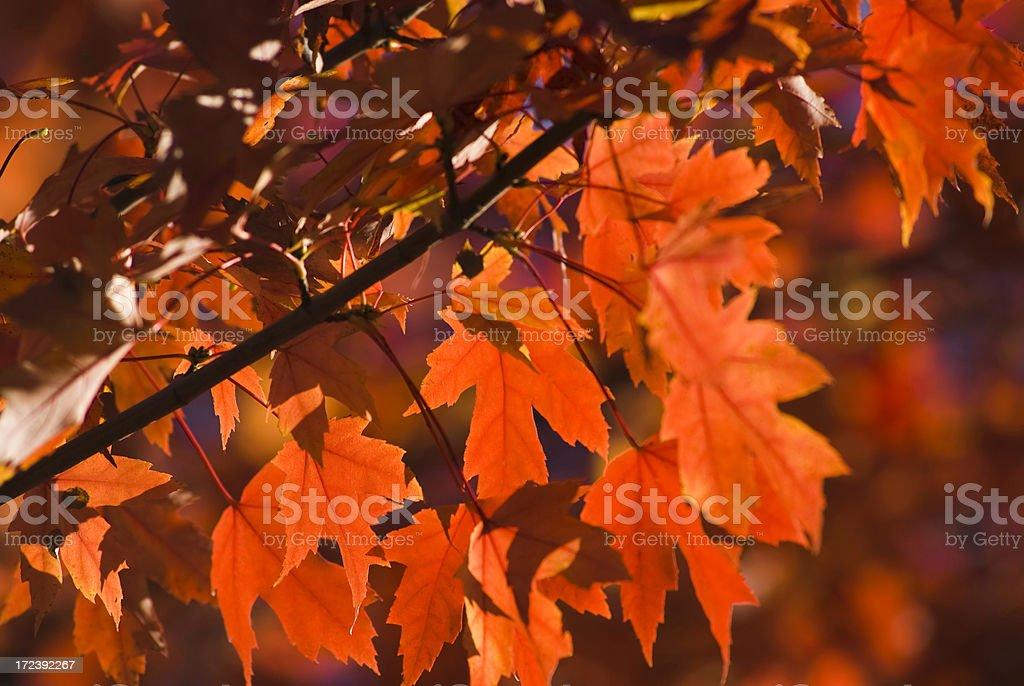 Sugar Maple foliage royalty-free stock photo