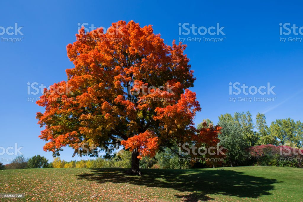 Sugar maple stock photo