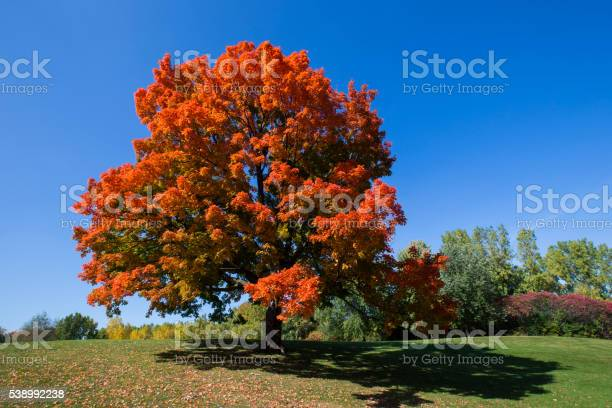 Photo of Sugar maple