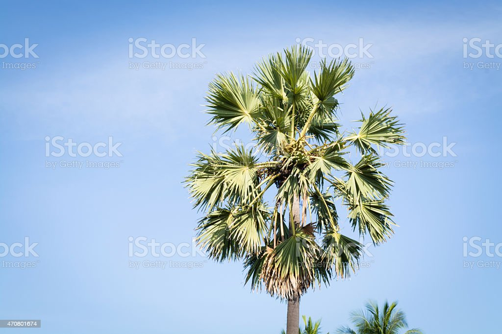 sugar palm in nakhon chaisi. stock photo