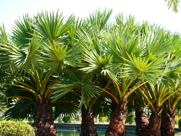 Sugar palm in the forest stock photo