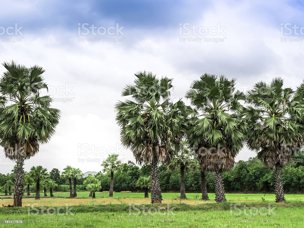 Sugar palm tree in paddy field royalty-free stock photo