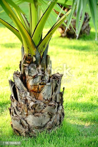 Sugar palm tree or toddy palm for garden decoration