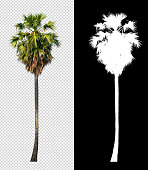 istock sugar palm tree on transparent picture background with clipping path 1318228988