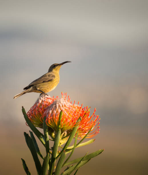 Sugarbird Hummingbird sitting on the endemic fynbos Pincushion protea flower in the western cape, Cape Town, South Africa. stock photo