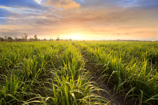 Sugarcane field at sunset. sugarcane is a grass of poaceae family. stock photo