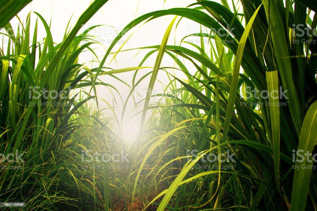 Zuckerrohr-Feld in blauer Himmel mit weißen Sonnenstrahl – Foto