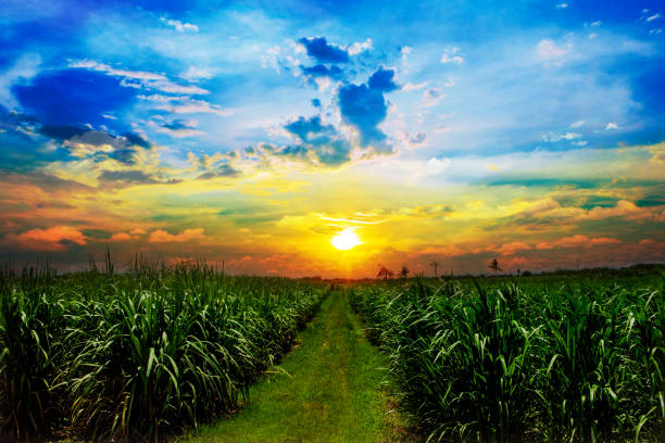 sugarcane field in sunset sky and white cloud in thailand - canna da zucchero foto e immagini stock