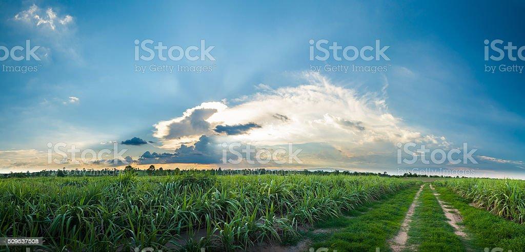 sugarcane field,  panorama stock photo