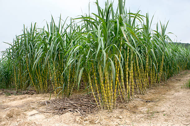 Sugarcane Field stock photo