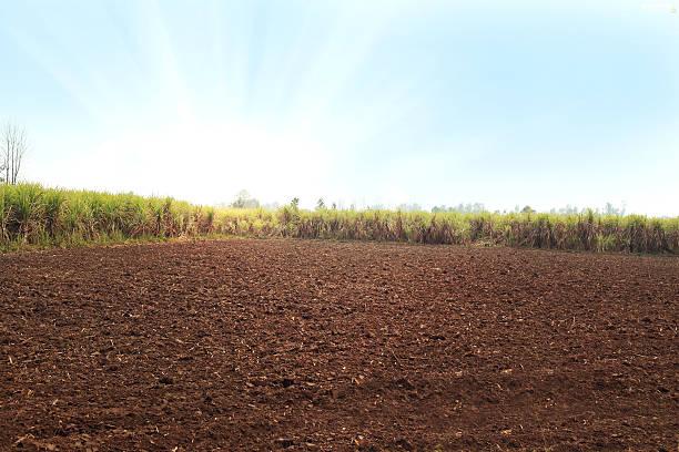 Sugarcane Field stock photo