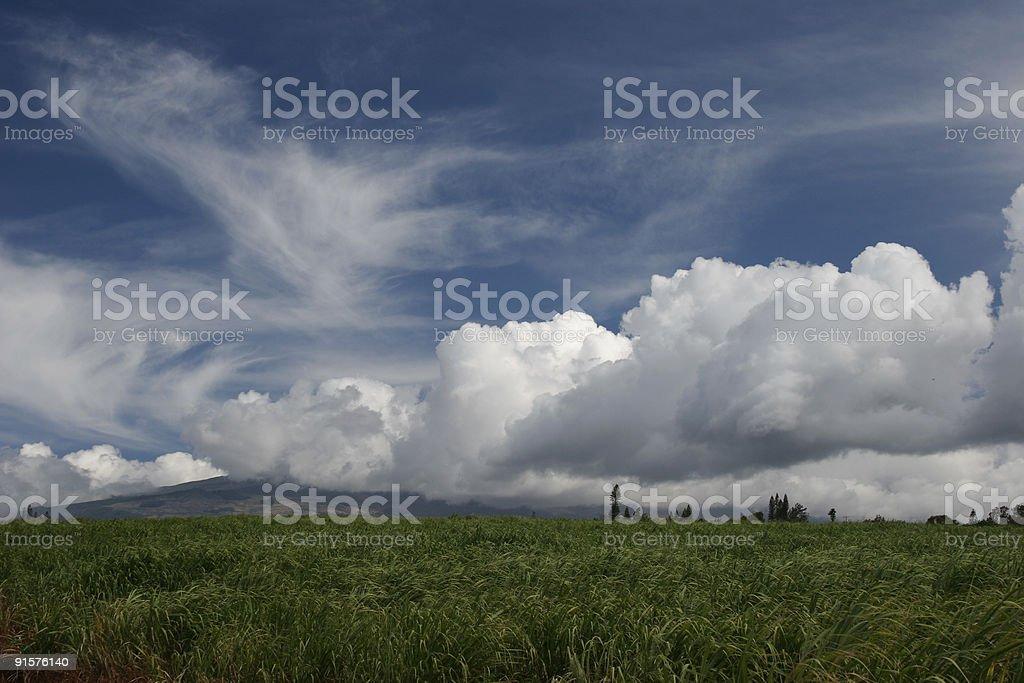 sugarcane field royalty-free stock photo