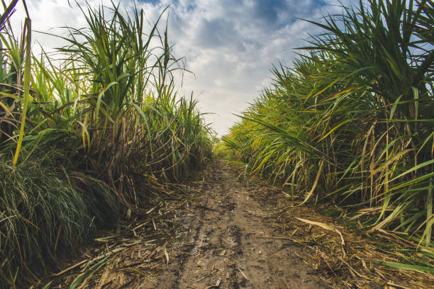 sugarcane fields alongside the pathway - canna da zucchero foto e immagini stock