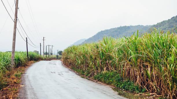 Sugarcane fields - Jamaica stock photo