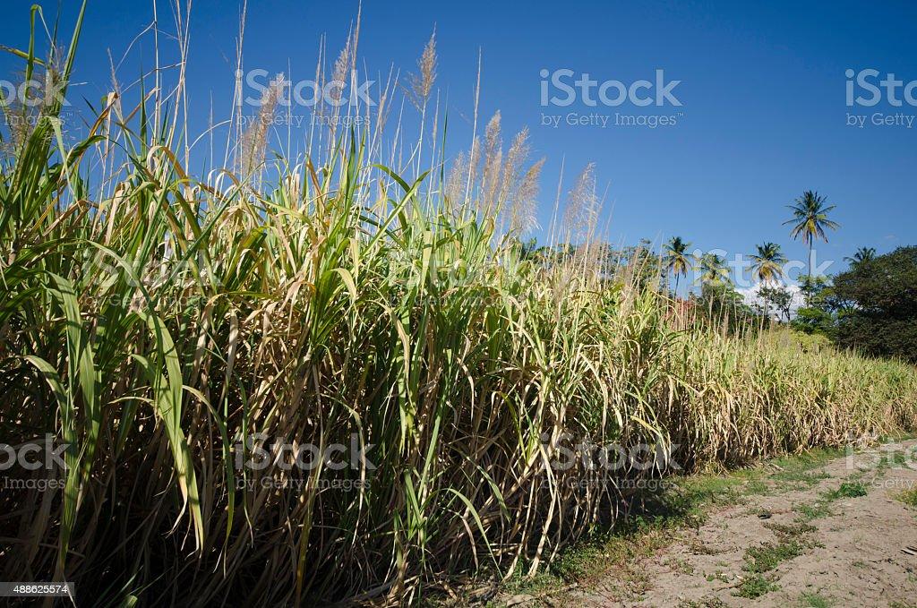繁るサトウキビ畑 - 2015年のストックフォトや画像を多数ご用意 - iStock