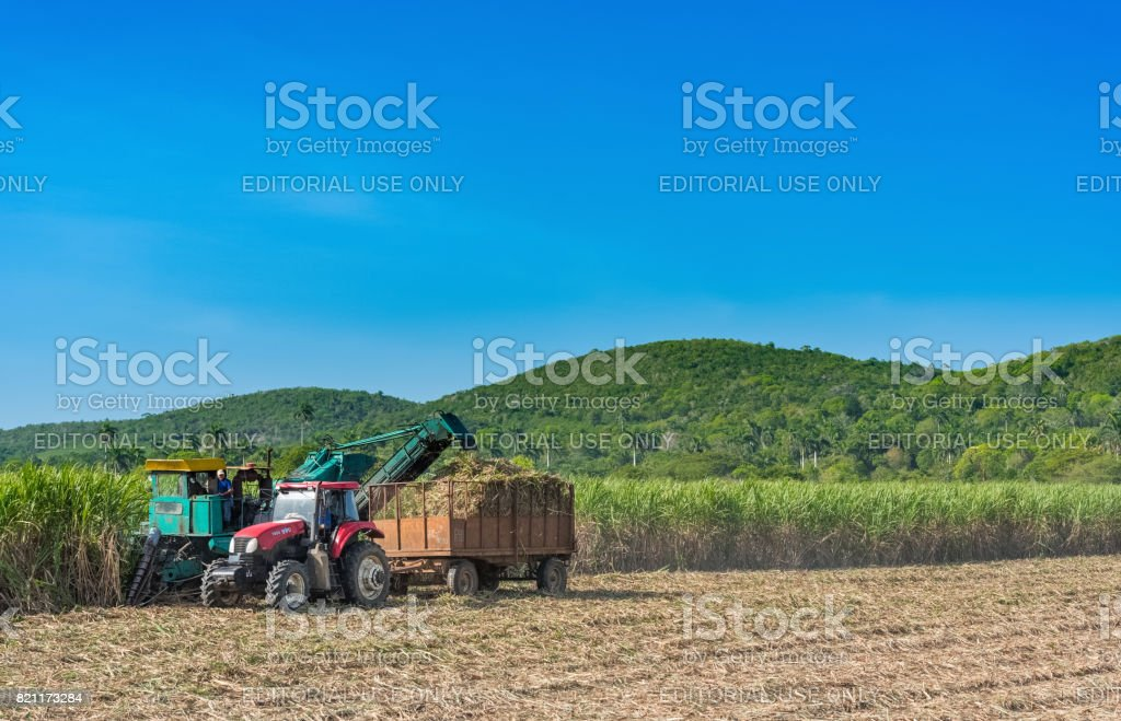 Sugarcane Harvest On The Field With A Combine Harvester
