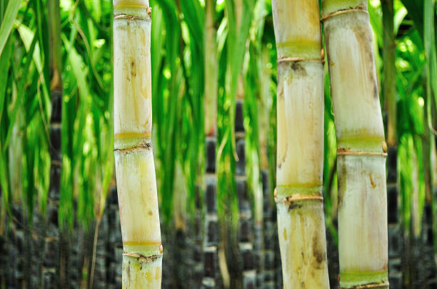 Cana-de-açúcar - foto de acervo