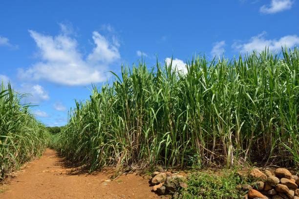Sugarcane Dirt road among sugarcane plantation. Mauritius sugar cane stock pictures, royalty-free photos & images