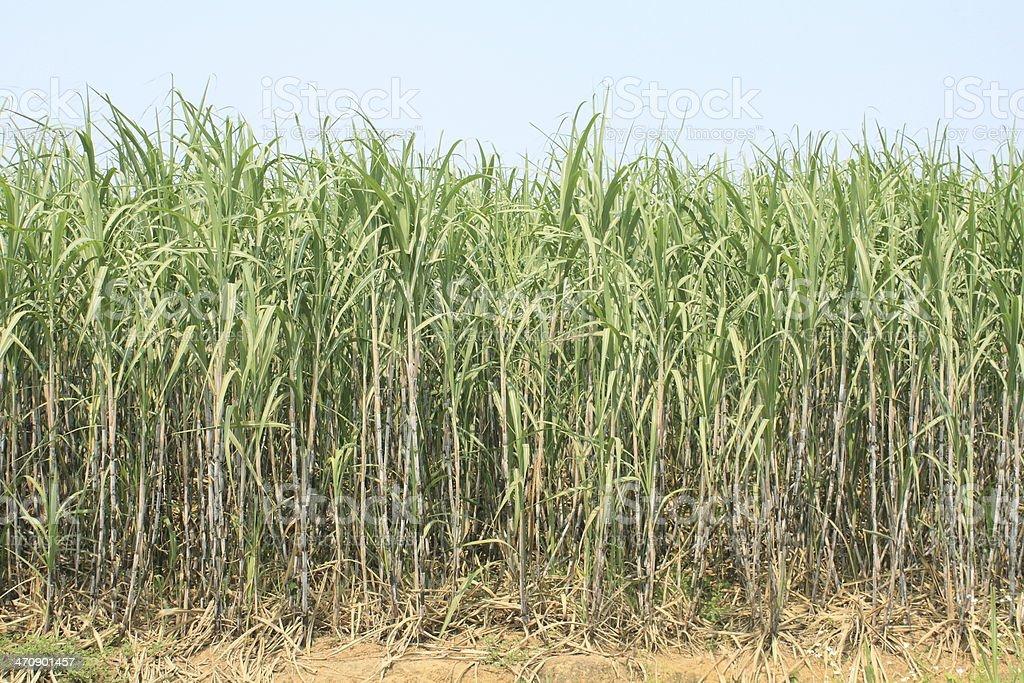 sugarcane plantation stock photo