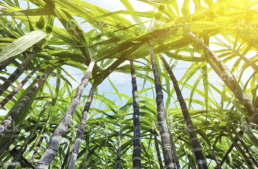 Plantacji cukrowej – zdjęcie