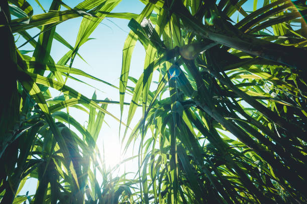 Zuckerrohrpflanzen wachsen auf dem Feld – Foto