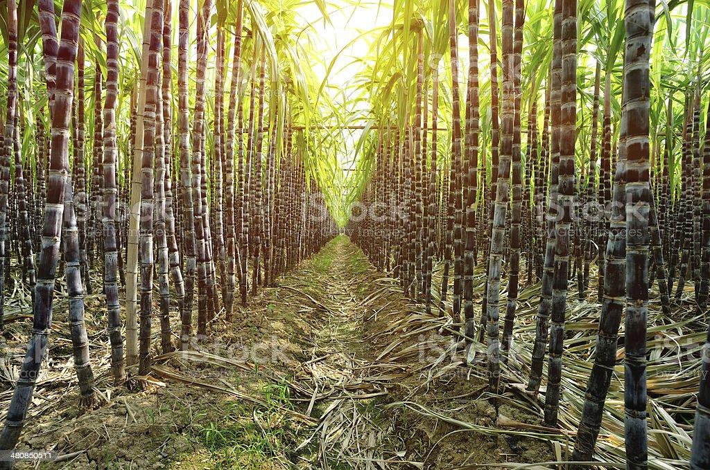 Zuckerrohr Pflanzen – Foto