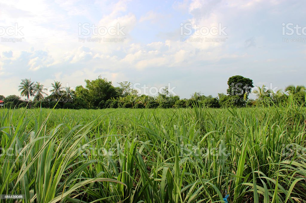 Sugarcane views stock photo