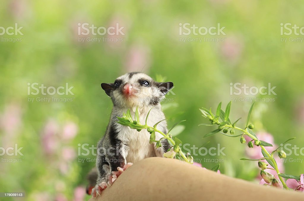 sugar-glider  little joey on hand royalty-free stock photo