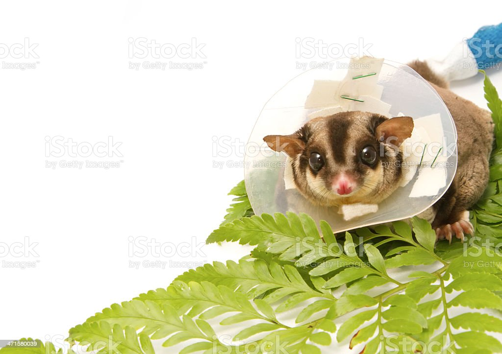 sugar-glider on callar royalty-free stock photo