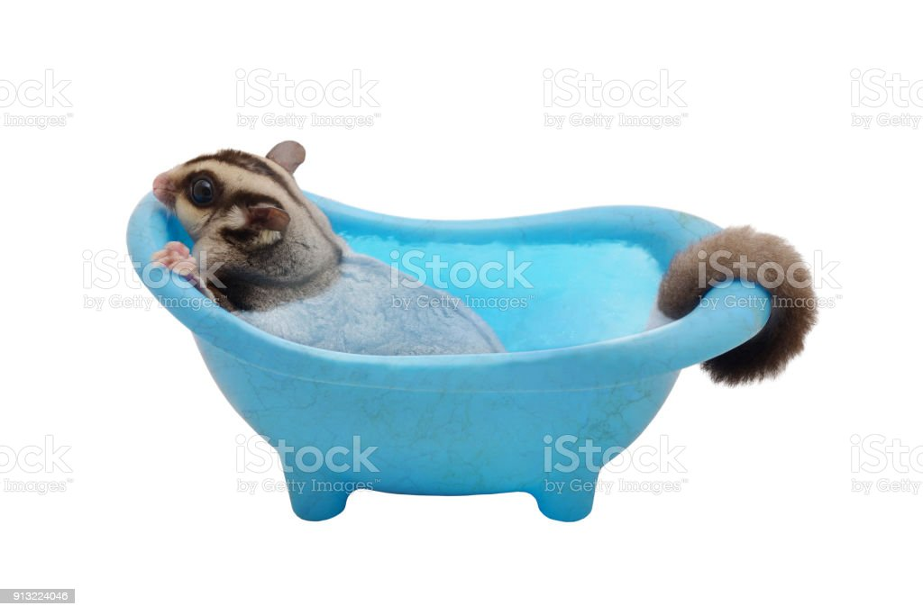 Suger glider cleaning itself by soaking in blue bathtub. stock photo