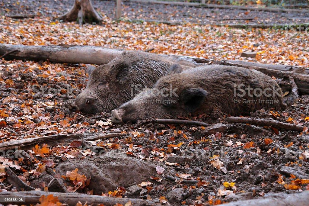 Suhlende Wildschweine stock photo