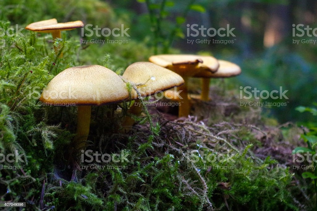 suillus bovinus growing in the forest stock photo