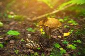 Suillus bovinus mushrooms in the woods