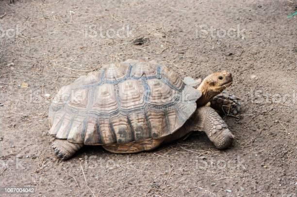 Sulcata tortoise picture id1067004042?b=1&k=6&m=1067004042&s=612x612&h=ejju48i27agazeawds0uz9p1vpi51eeg8qruaijjd5e=