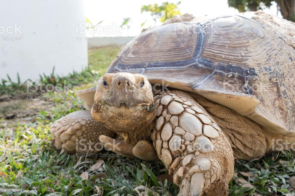 Sulcata Tortoise Stock Photo More Pictures Of Africa Istock