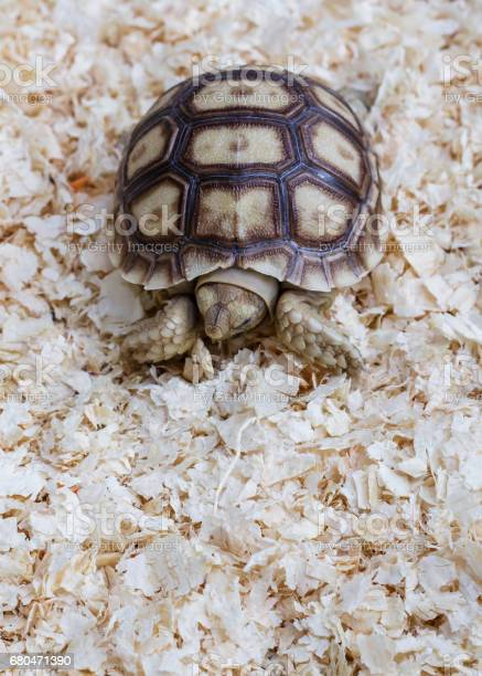 Sulcata tortoise the lovely turtle pet picture id680471390?b=1&k=6&m=680471390&s=612x612&h=3xmg vxxdlskmf2rp4vmu3lxs7cyo b  obleprvg1s=