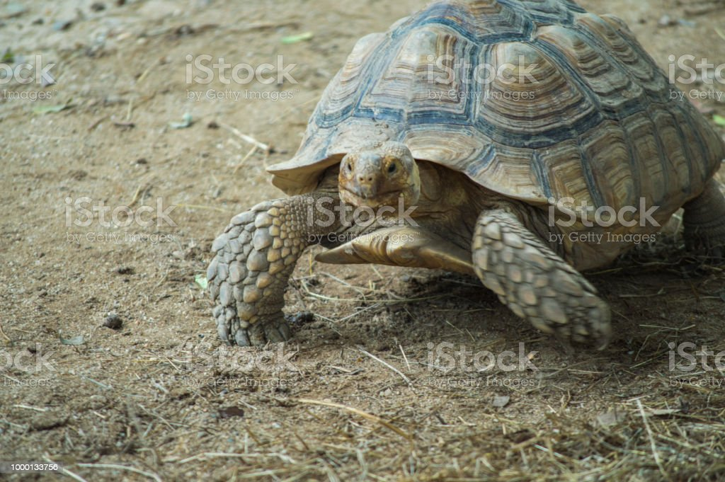 Sulcata Tortoise Walking On Ground Stock Photo More Pictures Of