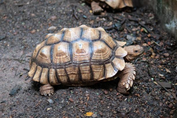 Sulcata Tortoise walking on the ground stock photo