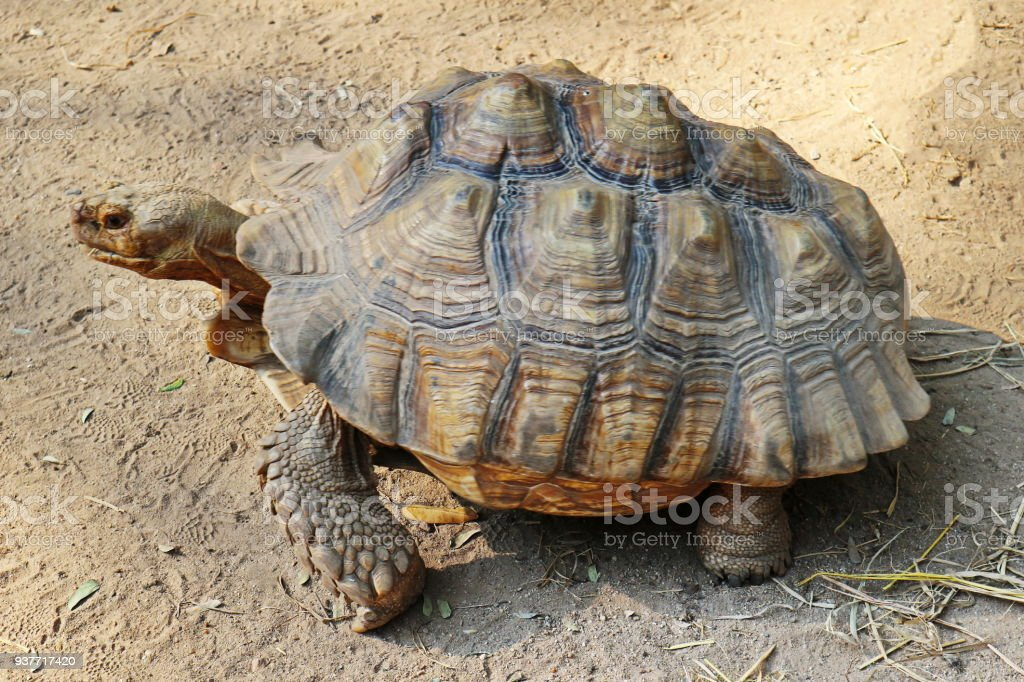 Sulcata Tortoise Walking On The Ground Stock Photo More Pictures