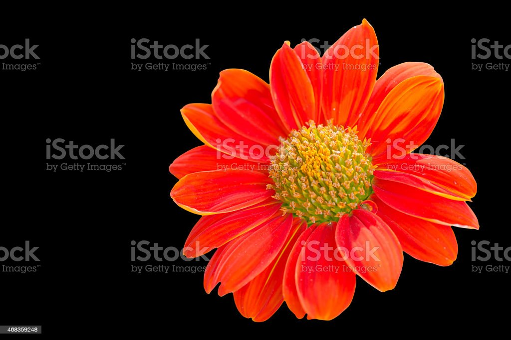 Sulfur Cosmos Flower royalty-free stock photo