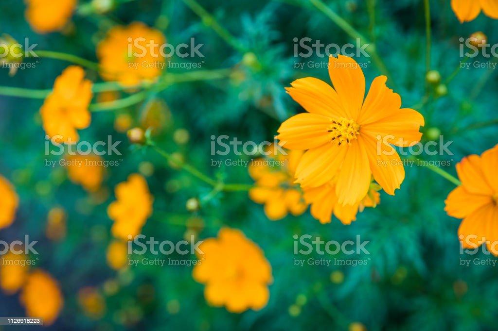 Sulfur Cosmos Flowers stock photo